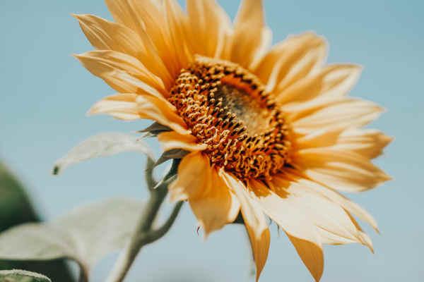 太陽に向かって咲くひまわり